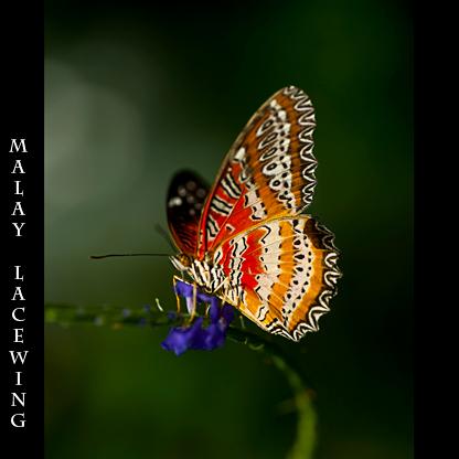 _dsc5174-cethosia-hypsea-malay-lacewing-crop-rtx.jpg