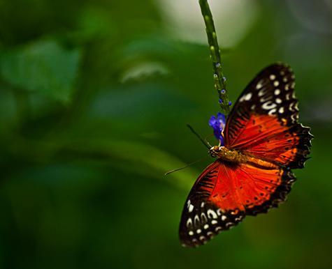 _dsc5183-key-west-butterfly-heliconius-ismenius.jpg