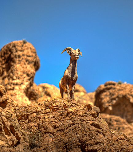 _dsc9560_martinez-cabin-big-horn-sheep-box-canyon.jpg