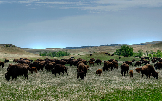 _dsc1903_custer-sp-buffalo-crop3.jpg