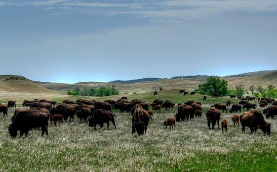 _dsc1903_custer-sp-buffalo-crop3.jpg