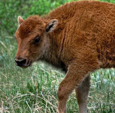 dsc_8371_custer-sp-buffalo-500mm-crop.jpg