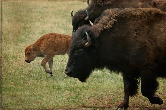 dsc_8438-custer-sp-buffalo-500mm-text.jpg