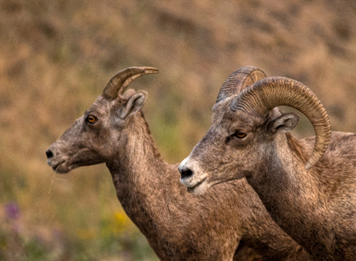 dsc_9521_natl-bisson-range-big-horn-sheep-crop.jpg