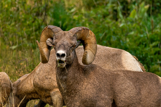 dsc_9582_natl-bisson-range-big-horn-sheep.jpg