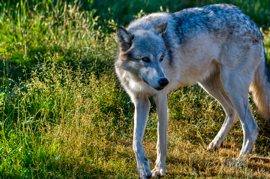 ynp-dsc_2063_grizzly-wolf-3.jpg