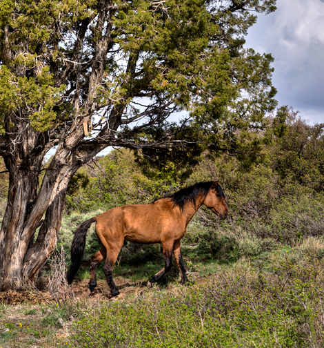 DSC_0042_Mesa-Verde-wild-mustang-crop3