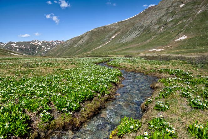 DSC_4245_6_7_2013-06-14-Cinnamon-Pass-alpine-tundra-flowers