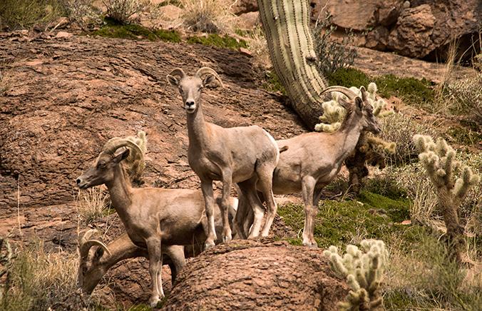 _DSC0548-204-03-04-Montana-Mtn-desert-big-horn-sheep-wrm-crp