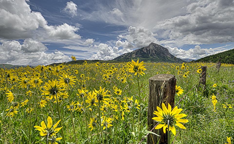 Field of Aspen Sunflowers along Washington Gulch Crested Butte, Colorado