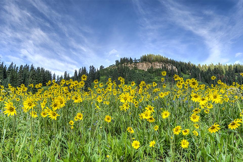 Aspen sunflowers at dawn in Gothic, Colorado