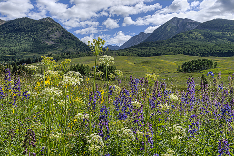 Field of wildflowers along Gothic Road Crested Butte, Colorado