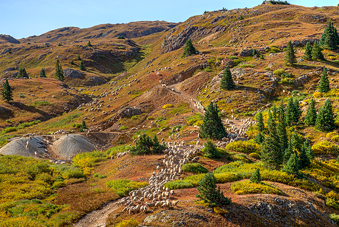 _DSC0514_2015-09-13-Mineral-Creek-sheep-herd-crp