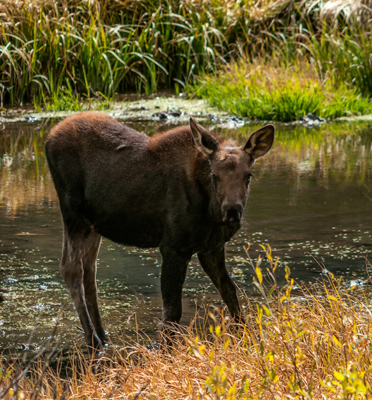 DSC_6803-2015-09-13-Engineer-Pass-Moose-crp2-ortn