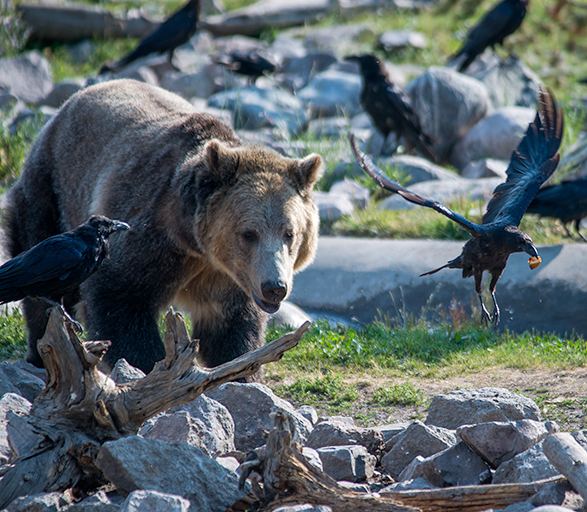 _DSC6735-2016-07-31-Grizzly-Wolf-dc-grizzly