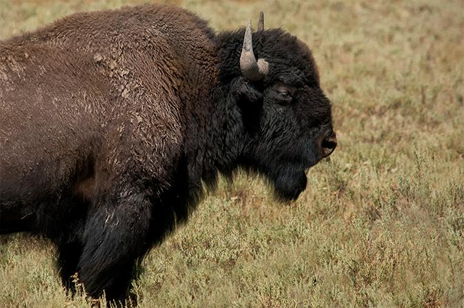 DSC_7385-2016-07-29-YNP-Hayden-Valley-buffalo-ortn-txt
