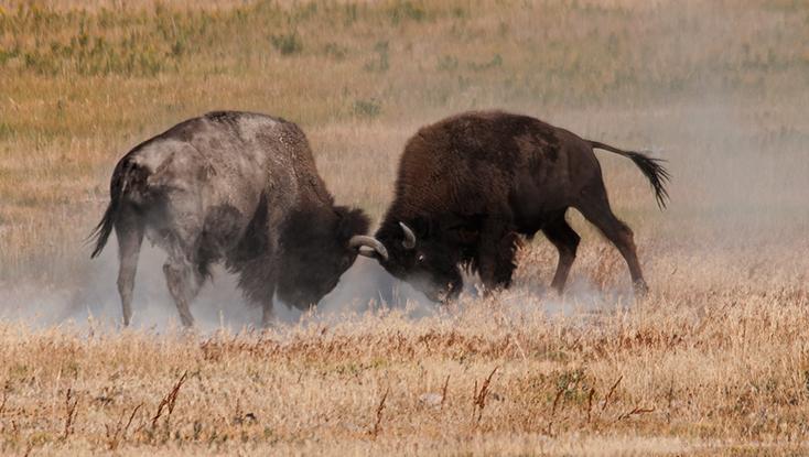 DSC_8886-2016-08-17-Buffalo-fighting-White-Dome-Geyser-ortncrp